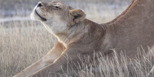 Lion stetching